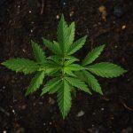 A bunch of Marijuana, business law